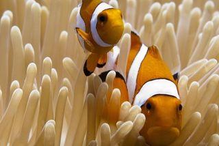 Clown anemone fish_Amphiprion ocellaris_Natascia Tamburello--606x404